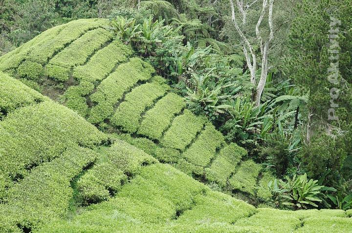 Malajsie - Cameron Highlands - čajovníková plantáž