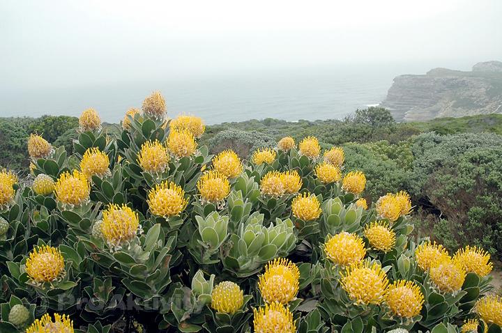 JAR - Cape Point - Protea
