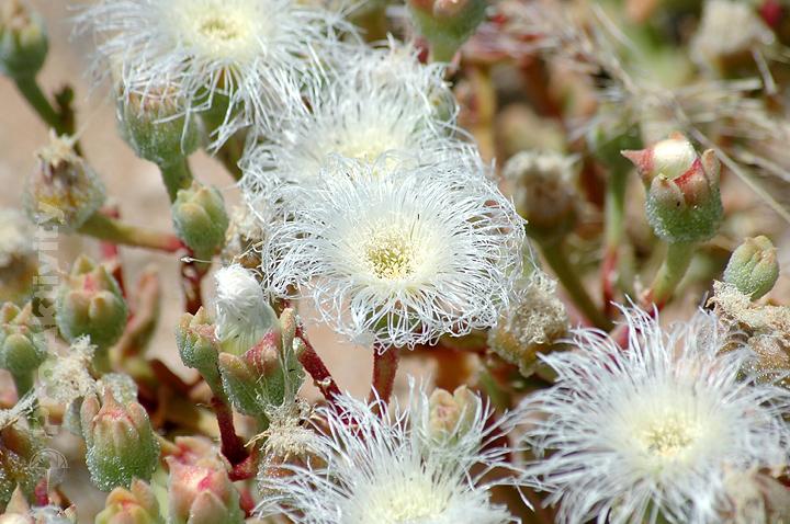 Namibie - silnice C12 - Kosmatec (Mesembryanthemum crystallinum)