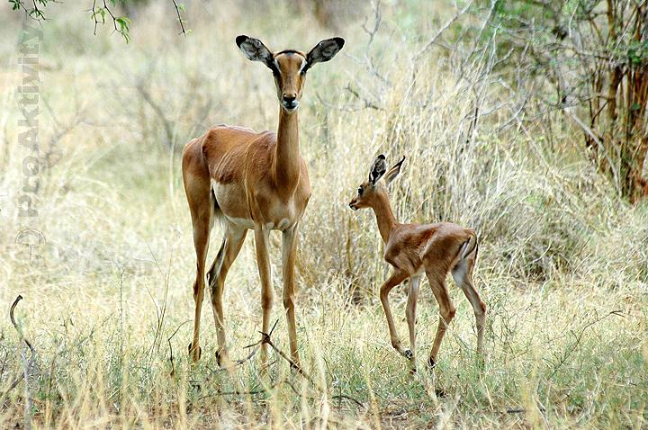Botswana - NP Mahango - antilopy