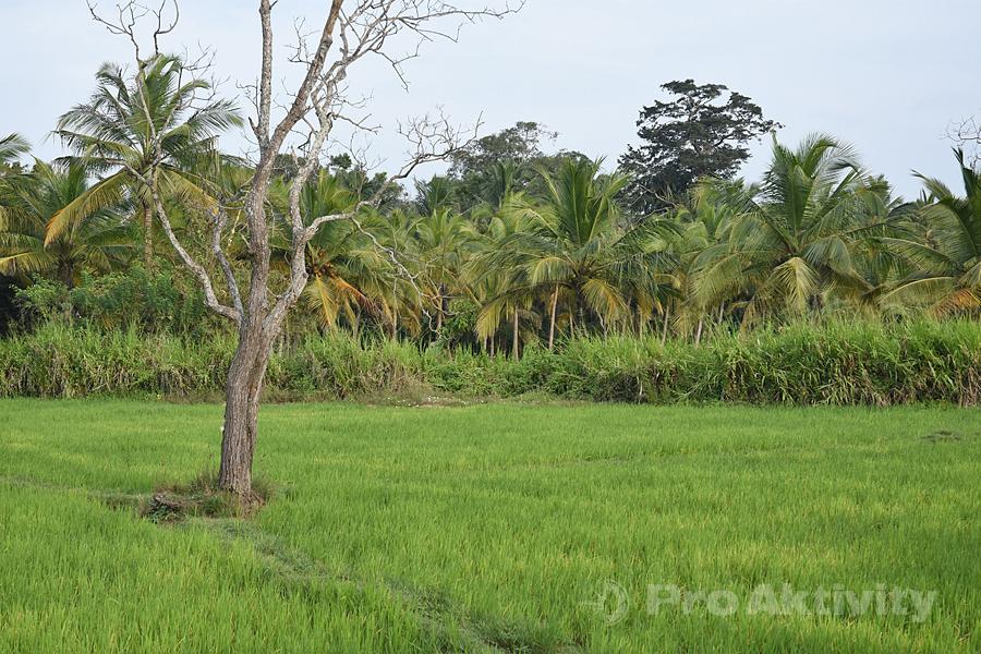 Šrí Lanka - Timbiriwewa - rýžové pole