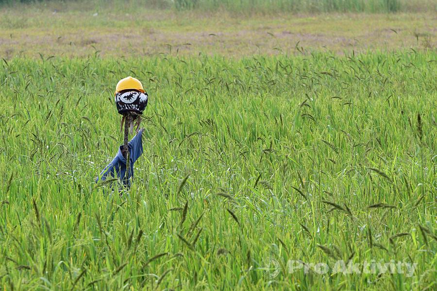 Šrí Lanka - Timbiriwewa - strašák v rýžovém poli