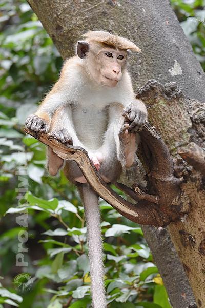Šrí Lanka - Ella - makak bandar (Macaca sinica)