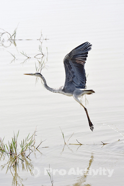 Šrí Lanka - NP Jala - volavka popelavá (Ardea cinerea)