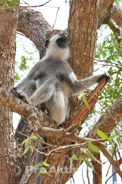 Šrí Lanka - Kataragama - hulman posvátný (Semnopithecus entellus)