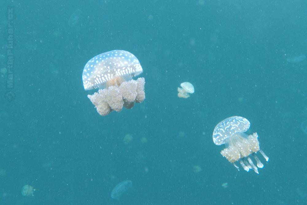 Togianské ostrovy, jezero Ubur-ubur, endemické sladkovodní medůzy