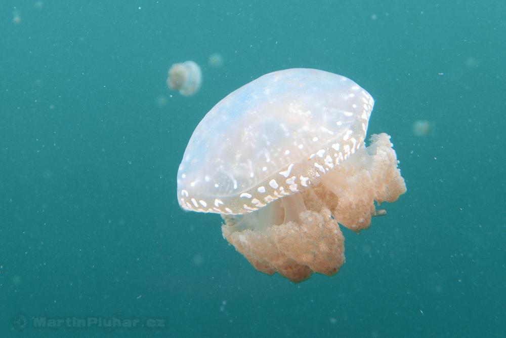 Togianské ostrovy, jezero Ubur-ubur, medúza kořenoústka papuánská