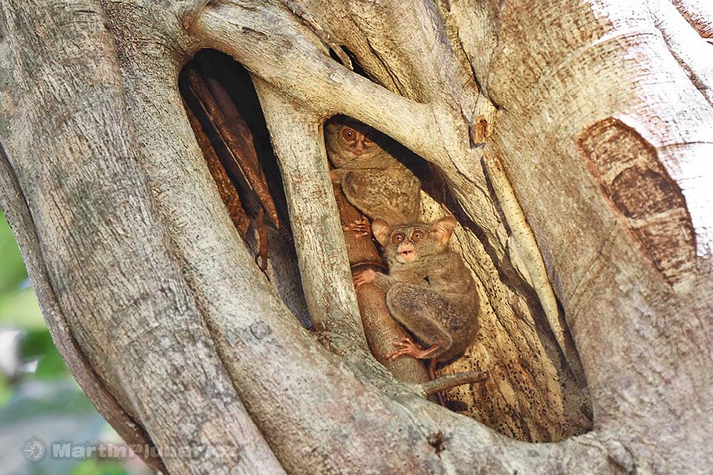 Přírodní rezervace Tangkoko Batuangus, nártouni celebeští