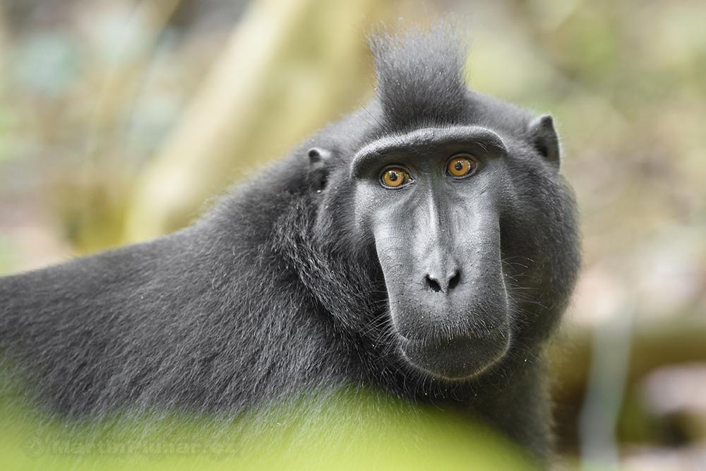 Přírodní rezervace Tangkoko Batuangus, makak chocholatý