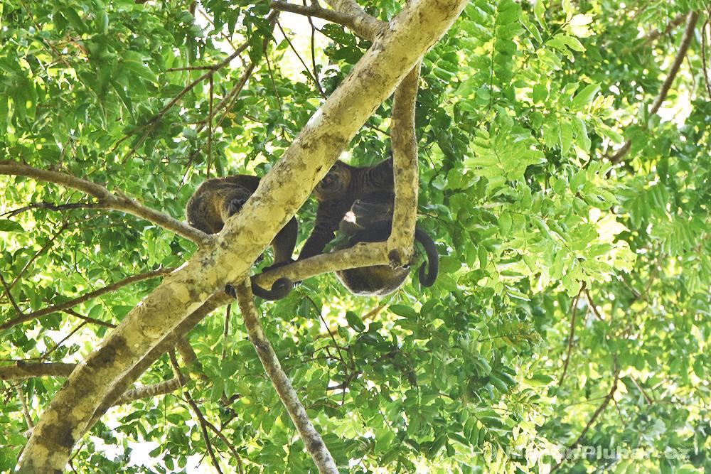 Přírodní rezervace Tangkoko Batuangus, kuskusové celebeští