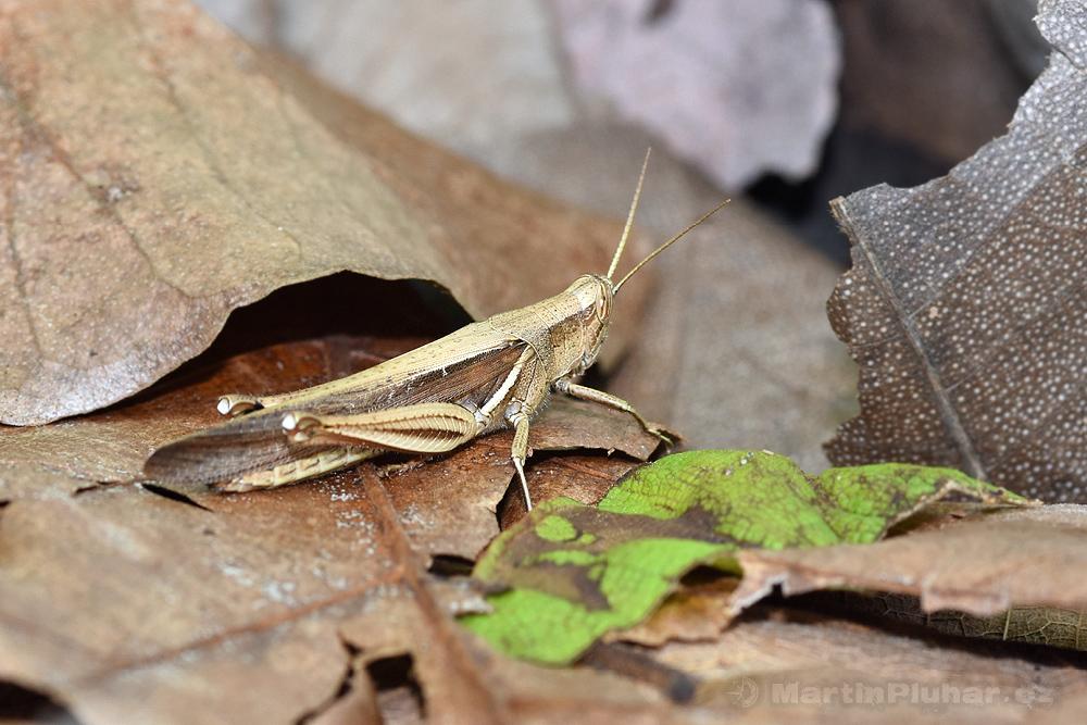 Přírodní rezervace Tangkoko Batuangus, kobylka