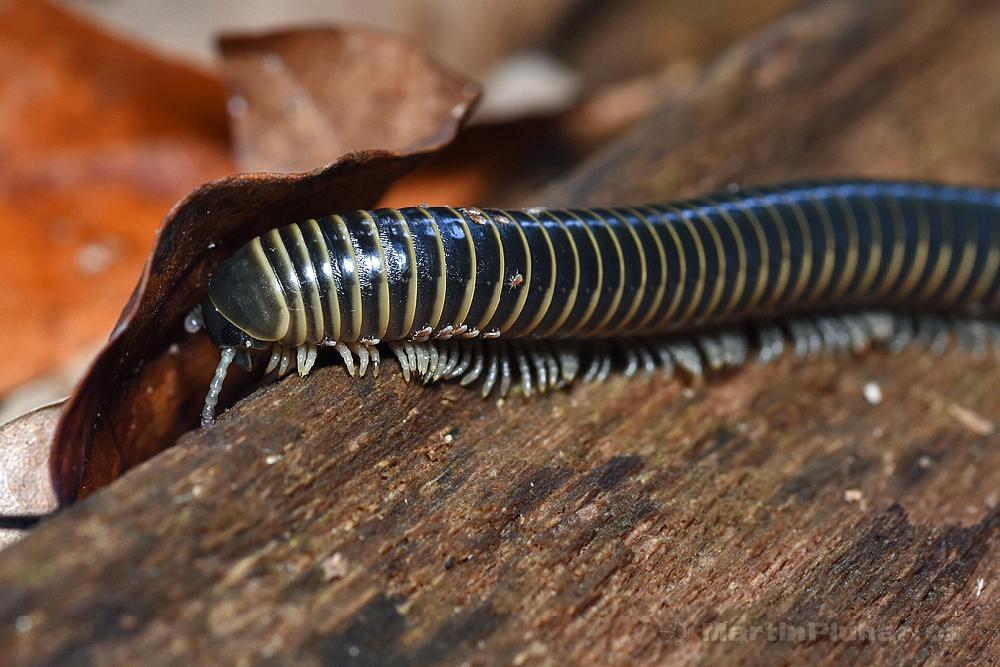 Přírodní rezervace Tangkoko Batuangus, mnohonožka