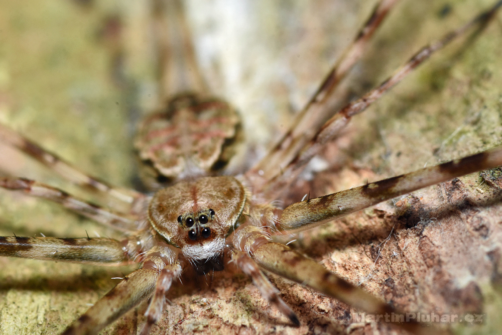 Přírodní rezervace Tangkoko Batuangus, pavouk