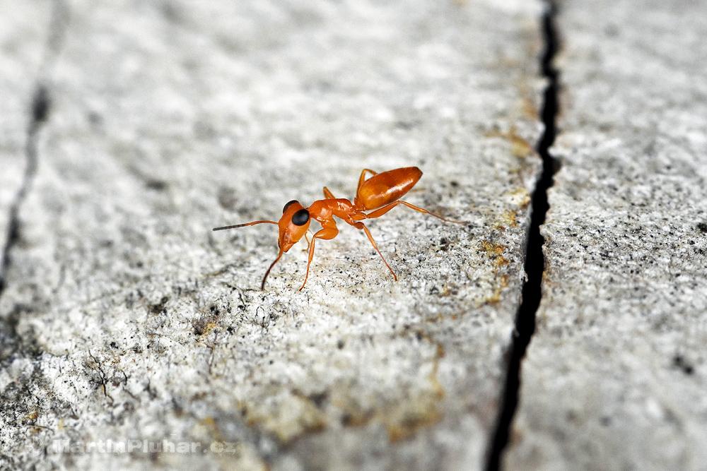 Bolihutuo, mraveneček