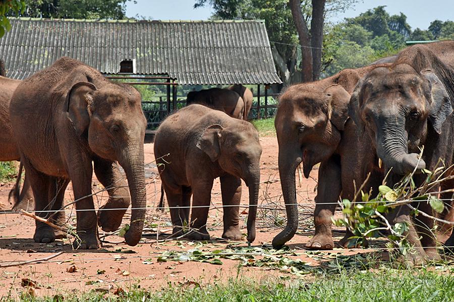 NP Udawalawa - Sloníci v záchranné stanici Elephant Transit Home