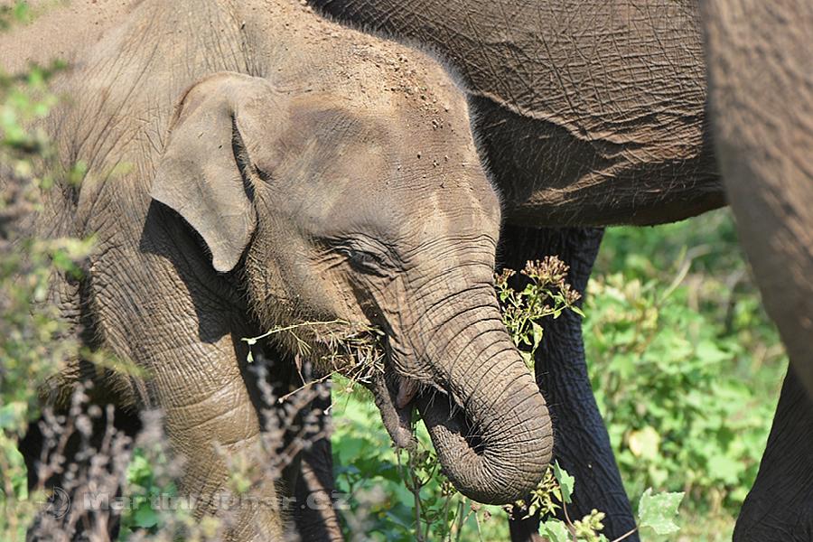 NP Udawalawa - Sloní junior