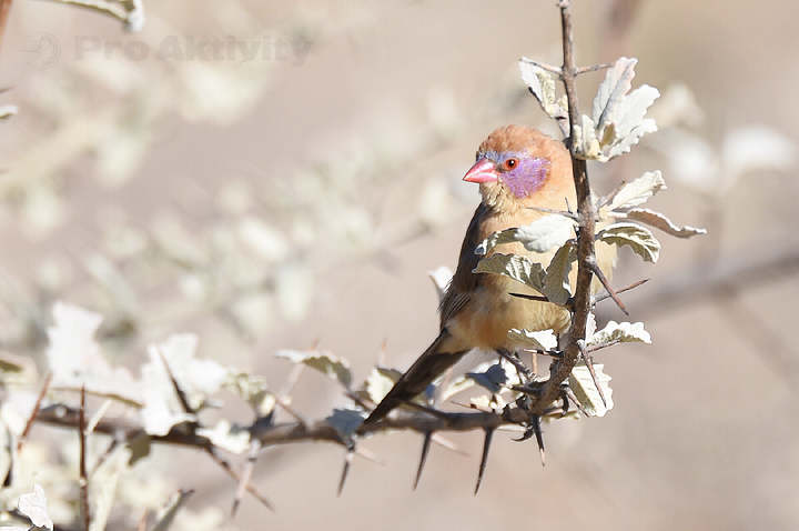 "Namibie - Capricorn Restcamp - ""vrabčák"""