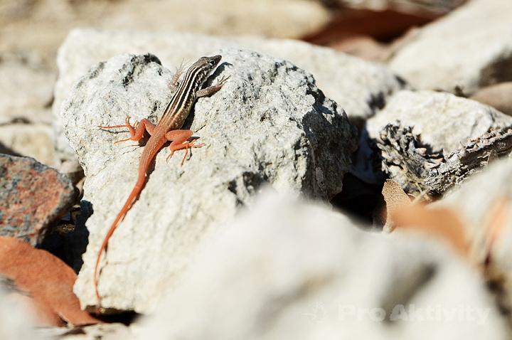 Namibie - Kunene, Epupa - ještěrka heliobolus broukovitý, Heliobolus lugubris