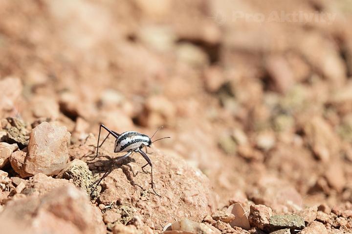 Namibie - Kunene, Epupa - potemník Stenocara gracilipes