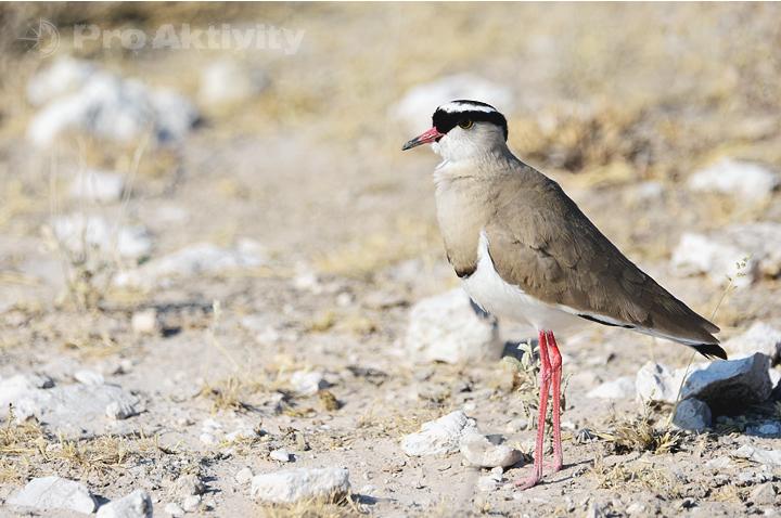 Namibie - NP Etosha - Čejka korunkatá, Vanellus coronatus