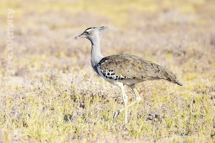 Namibie - NP Etosha - drop kori