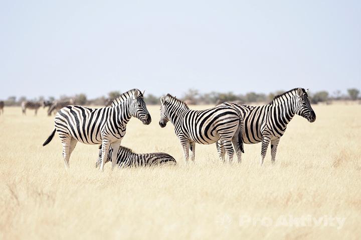 Namibie - NP Etosha - Zebra stepní