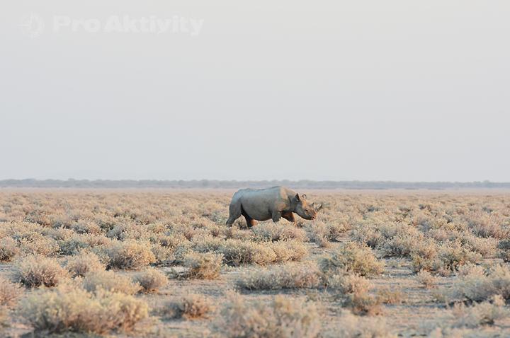 Namibie - NP Etosha - nosorožec dvourohý
