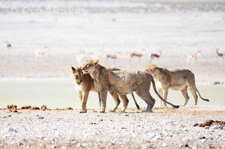 Namibie - NP Etosha, napajedlo Nebrowni - lvice