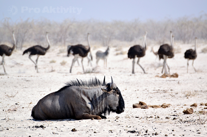 Namibie - NP Etosha - napajedlo Ozonjuitji m'Bari