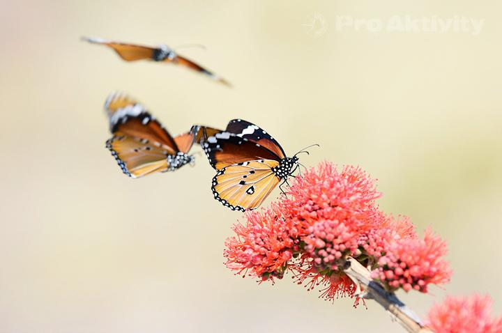 Namibie - NP Mahango - Danaus chrysippus orientis, tzv. Monarcha Africký