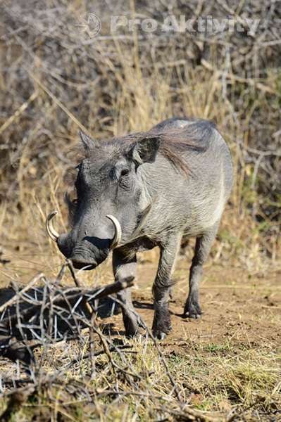 Namibie - NP Bwabwata - prase bradavičnaté