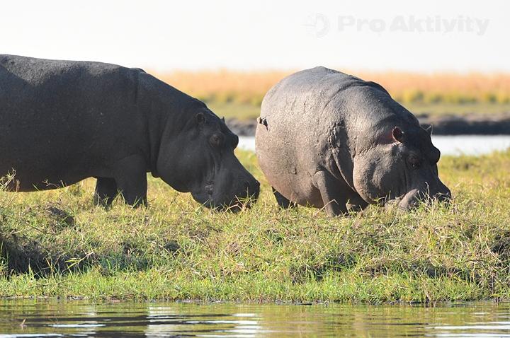 Botswana - NP Chobe - hroch obojživelný