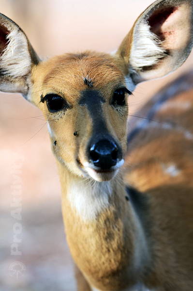 Namibie - NP Mahango - lesoň pestrý