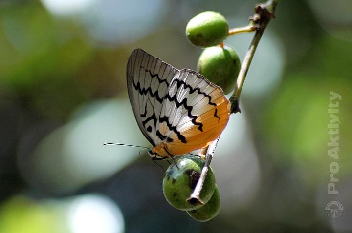 Malajsie - Cameron Highlands