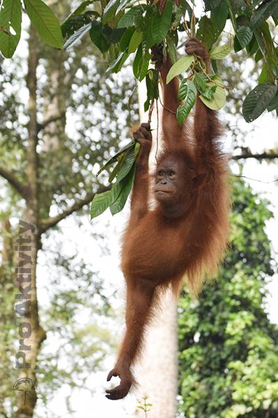 Malajsie - Sabah - Kinabatangan, orangutan
