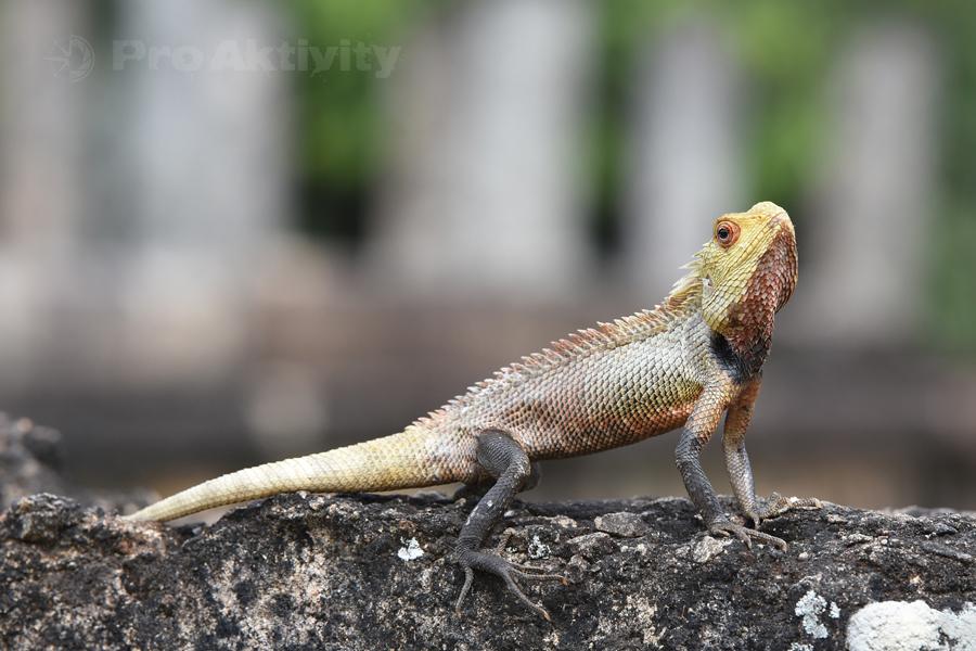 Šrí Lanka - Polonaruva - Lepoještěr pestrý (Calotes versicolor) na zdi Hétadágé