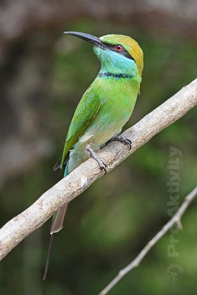 Šrí Lanka - NP Jala - vlha proměnlivá (Merops orientalis)