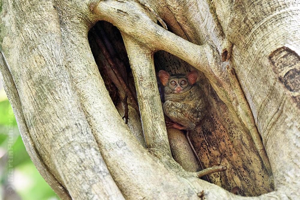Přírodní rezervace Tangkoko Batuangus, nártoun celebeský
