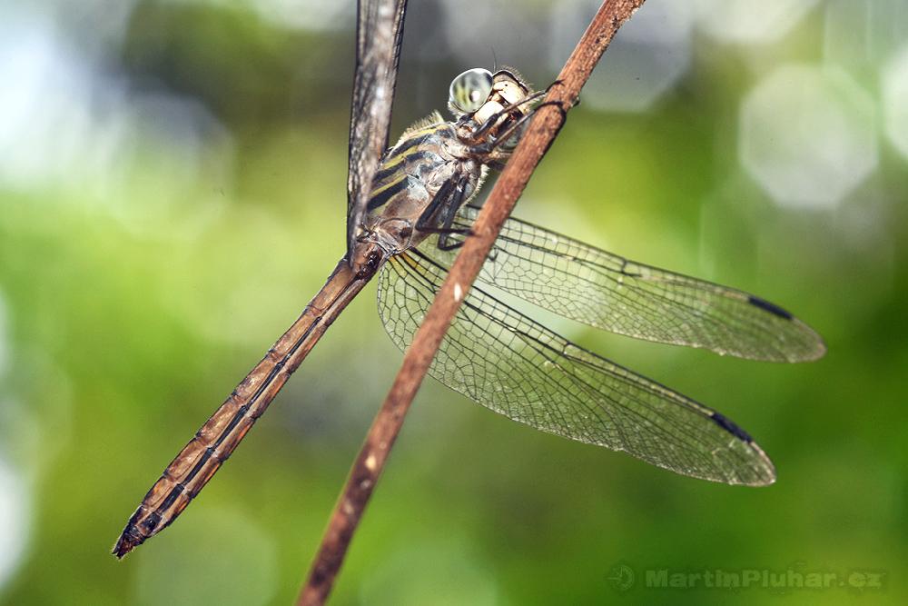 Přírodní rezervace Tangkoko Batuangus, vážka