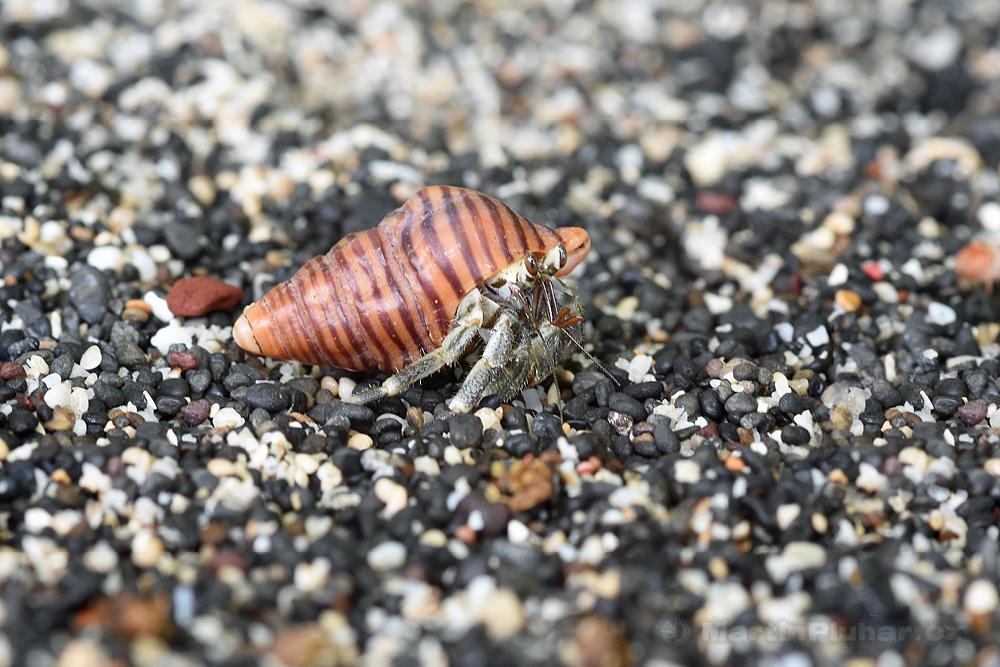 Přírodní rezervace Tangkoko Batuangus, krabík na pláži