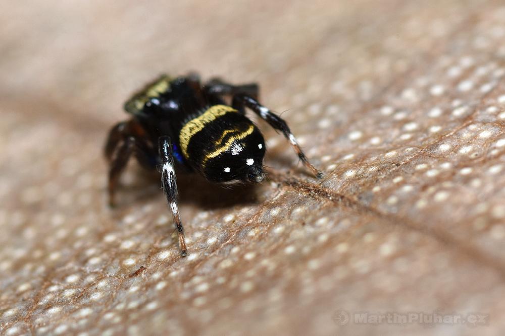 Přírodní rezervace Tangkoko Batuangus, pavouček