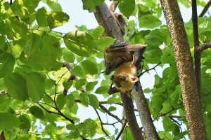 ostrov Sulawesi - Bantimurung - kolonie kaloňů malajských