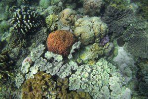 Moluky, Bandské ostrovy - ostrov Nailaka - živý korálový útes