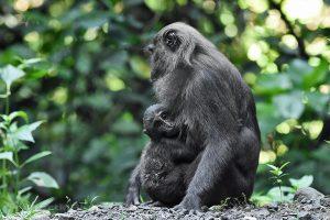 ostrov Sulawesi - Národní park Bantimurung Bulusaraung - makak tmavý