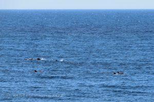 Moluky, Bandské ostrovy - ostrov Ay - oběd v Green Coconut GH - proplouvající delfíni