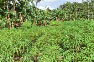 Moluky, Bandské ostrovy - ostrov Ay - rostlinky muškátovníku
