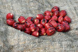Moluky, Bandské ostrovy - ostrov Ay - semeno plodu muškátovníku ještě obalené míškem