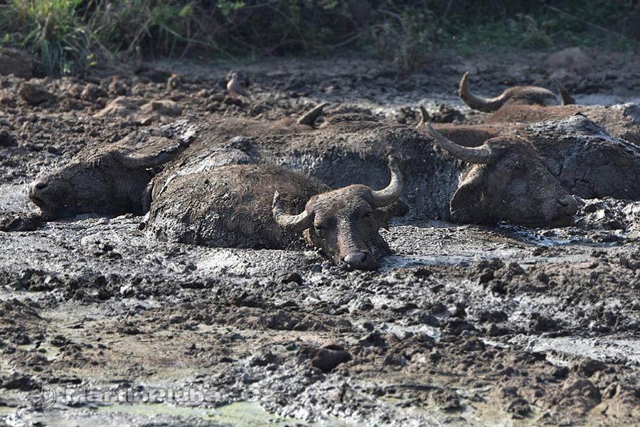 NP Udawalawa - Vodní buvoli v blátě