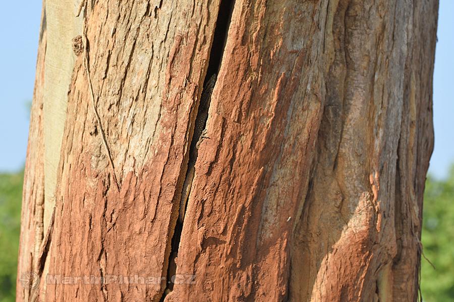 NP Udawalawa - Leguán ve stromě
