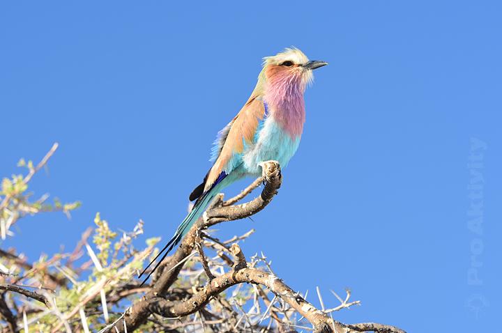Namibie - NP Etosha - mandelík dlouhoocasý